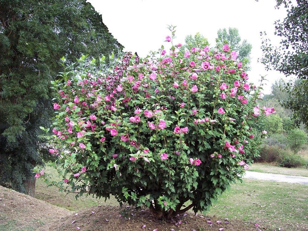 Vente hibiscus syriacus woodbridge althea woodbridge for Hibiscus entretien exterieur