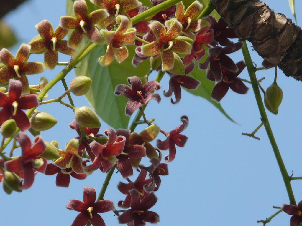 Pinar (Malayalam: പിണര്) | Tree identification, Planting ...