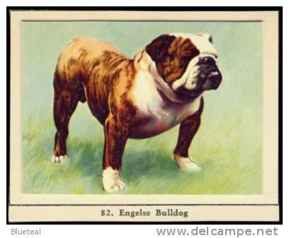 English Bulldog dog chien cane perro hund original 1950's Dutch card. - Delcampe.net