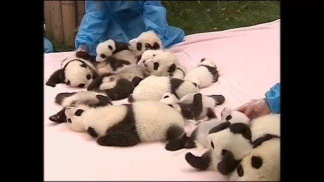 Pandatarhan 14 pentua esiteltiin ensikertaa yleisölle