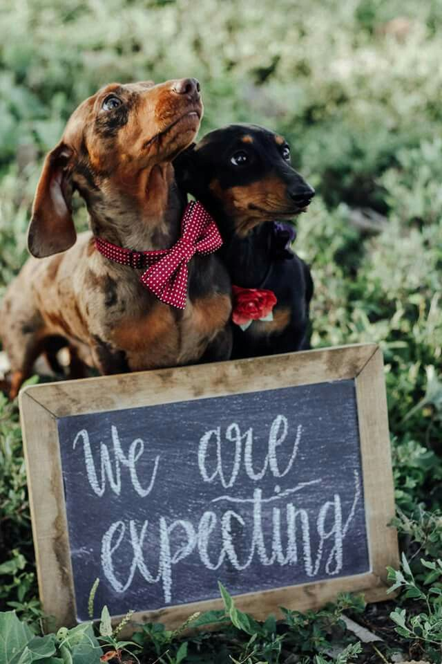 Pin By Jeanne Deets On Doxies Rule Pregnant Dog Newborn