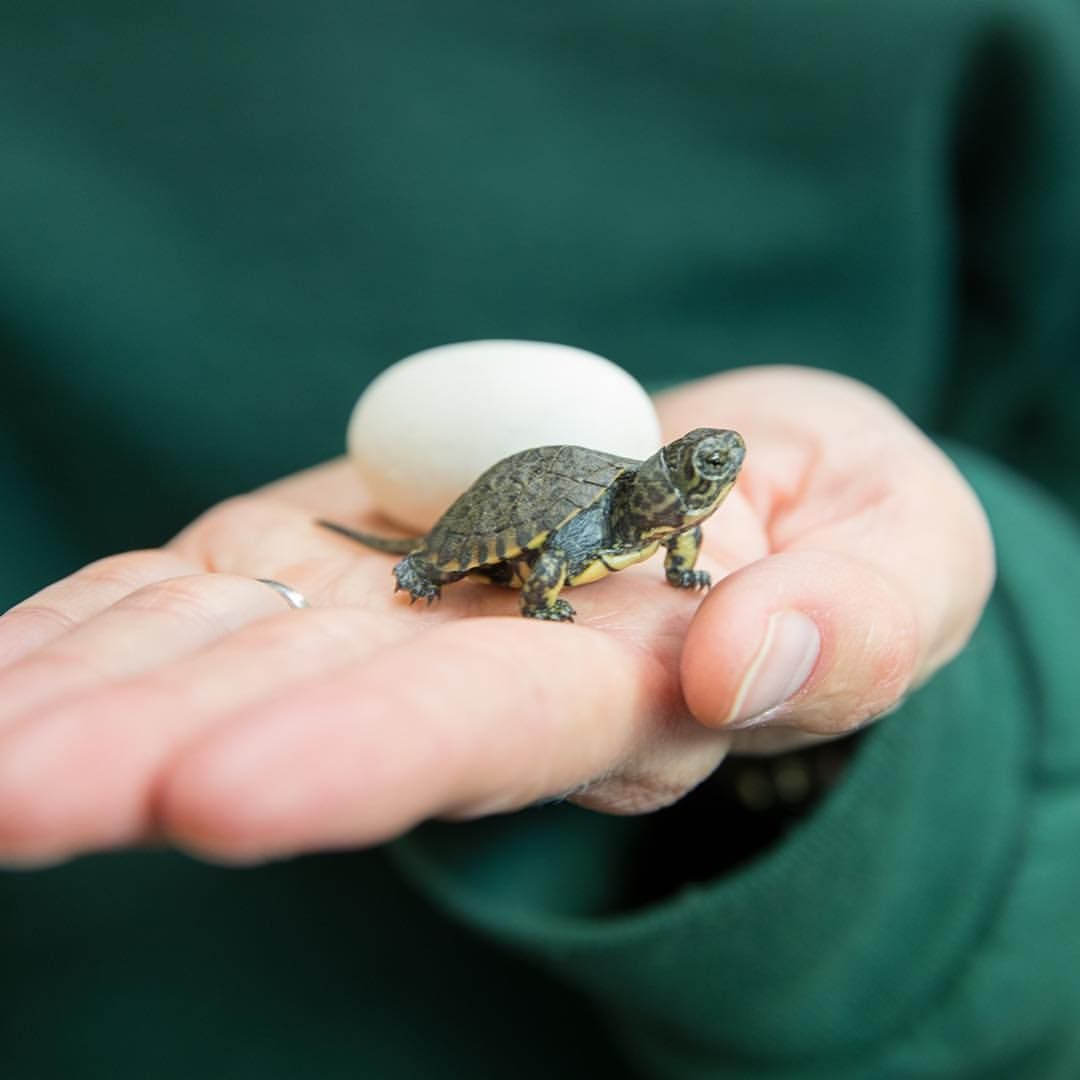 how to care for a turtle egg