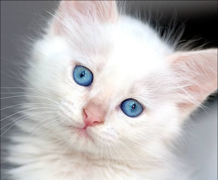 Cute White Kitten With Blue Eyes Cat With Blue Eyes Fluffy