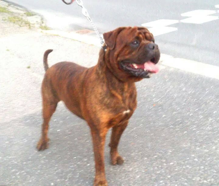 Marley 4 Years Old Rottweiler X American Bulldog Bully Dog Big Dogs Rottweiler Lovers