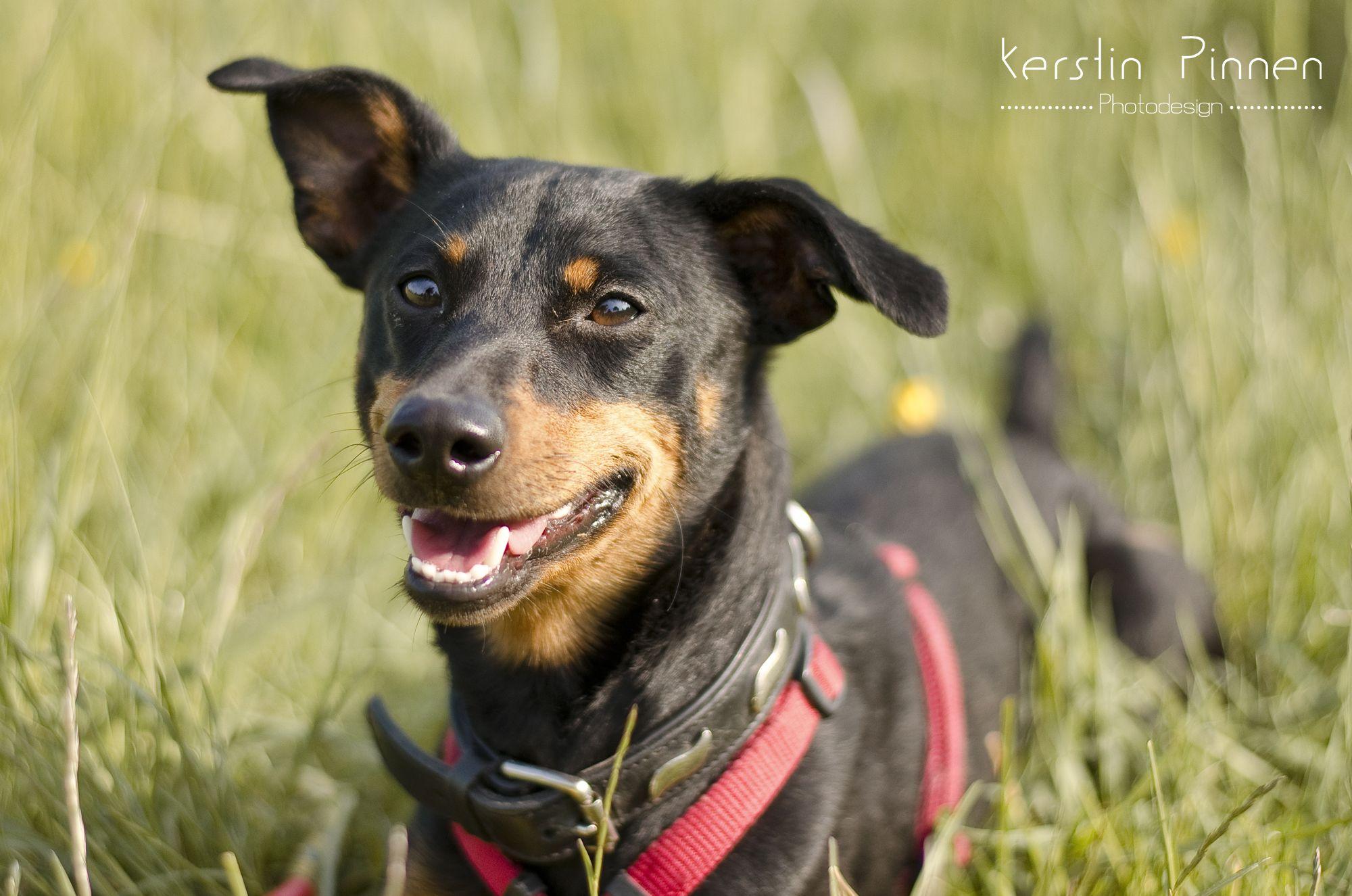 Outdoor-Tierfotografie | Hunde | Der kleine Deutscher Pinscher James aus dem Tierheim Troisdorf beim Spielen | Tierschutz | Tiere suchen ein Zuhause  (c) Kerstin Pinne Photodesign