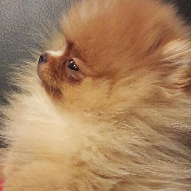 Pomeranian Puppies For Sale Get Pics And Price On Https Spitzpomeranian Co Uk Pomeranian Puppy Pomeranian Puppy For Sale Cute Dogs
