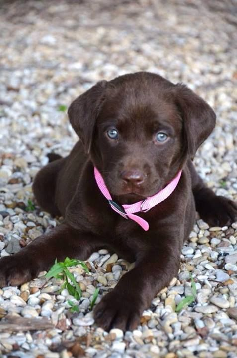chocolate lab pup with blue eyes | Puppies with blue eyes ...
