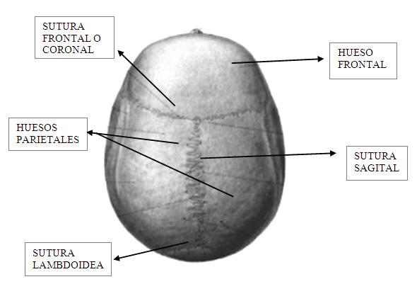 Superior /craneal: Hacia arriba o hacia la cabeza, la parte mas alta del cuerpo.