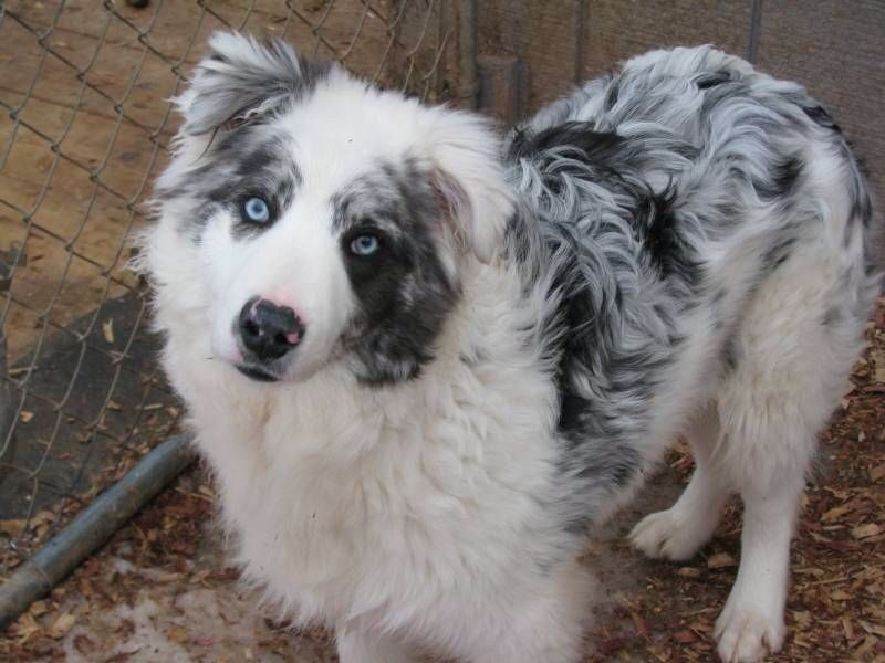 Border Collie Haver Blue Eyed Dog Australian Shepherd Dogs