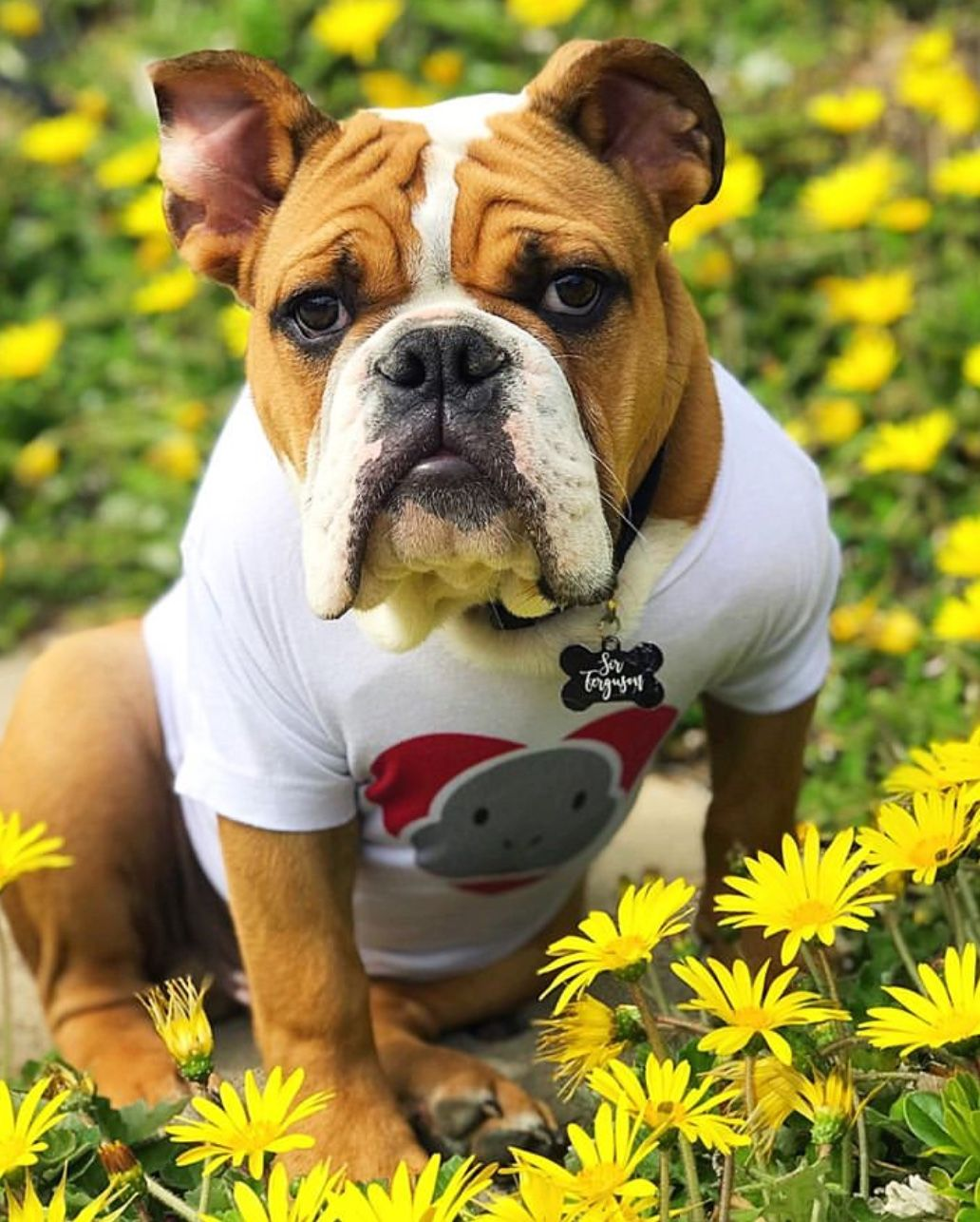 Pin by The Hempr3ss on Baby animals Bulldog breeds, Old