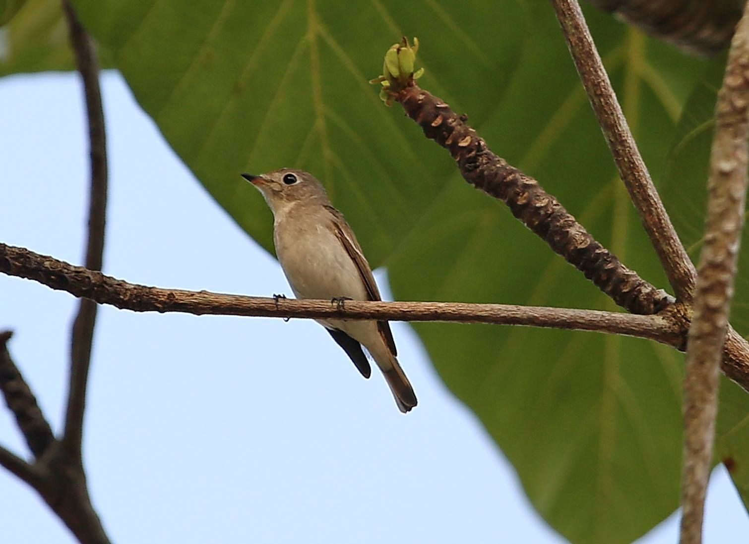 寬嘴鶲 Asian Brown Flycatcher (Muscicapa dauurica) ※過境鳥