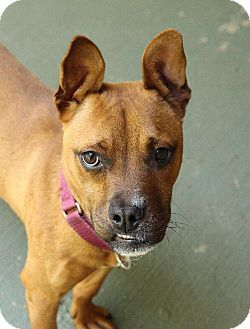Chattanooga, TN French Bulldog/Boxer Mix. Meet Victor, a