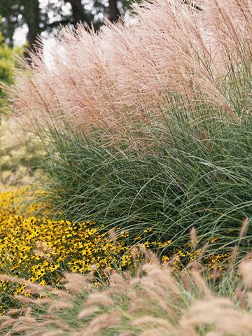 Miscanthus Adds Soft Airy Textures To Sunny Gardens Grasses Landscaping Ornamental Grasses Grasses Garden