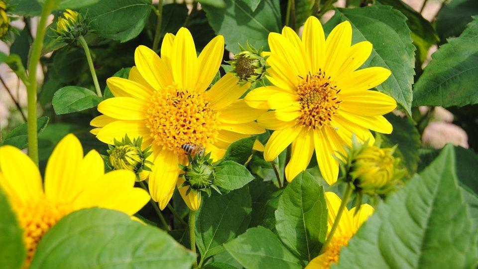 Im Garten Zeigt Sich Oft Im Spatsommer Wo Noch Platz Fur Bluhende Stauden Ist Dafur Bieten Sich Mehrjahrige Sonnenblumen Wie To In 2020 Stauden Sonnenblumen Pflanzen