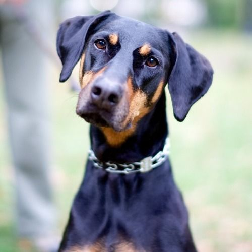Rita Doberman Pinscher 8 Y O Central Park New York Ny