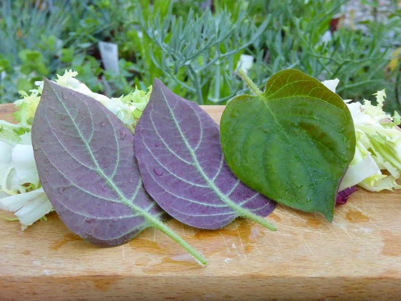 10 Incroyables Plantes Comestibles   Plantes comestibles, Cuisine ...