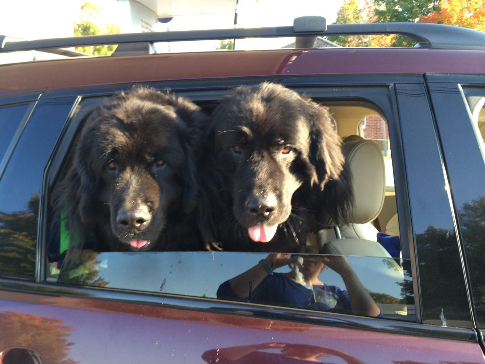 Zuke and Charlie are ready for a new forever home and people to shower with newfie kisses! http://www.newfclubne.org/NCNE/rescue.php