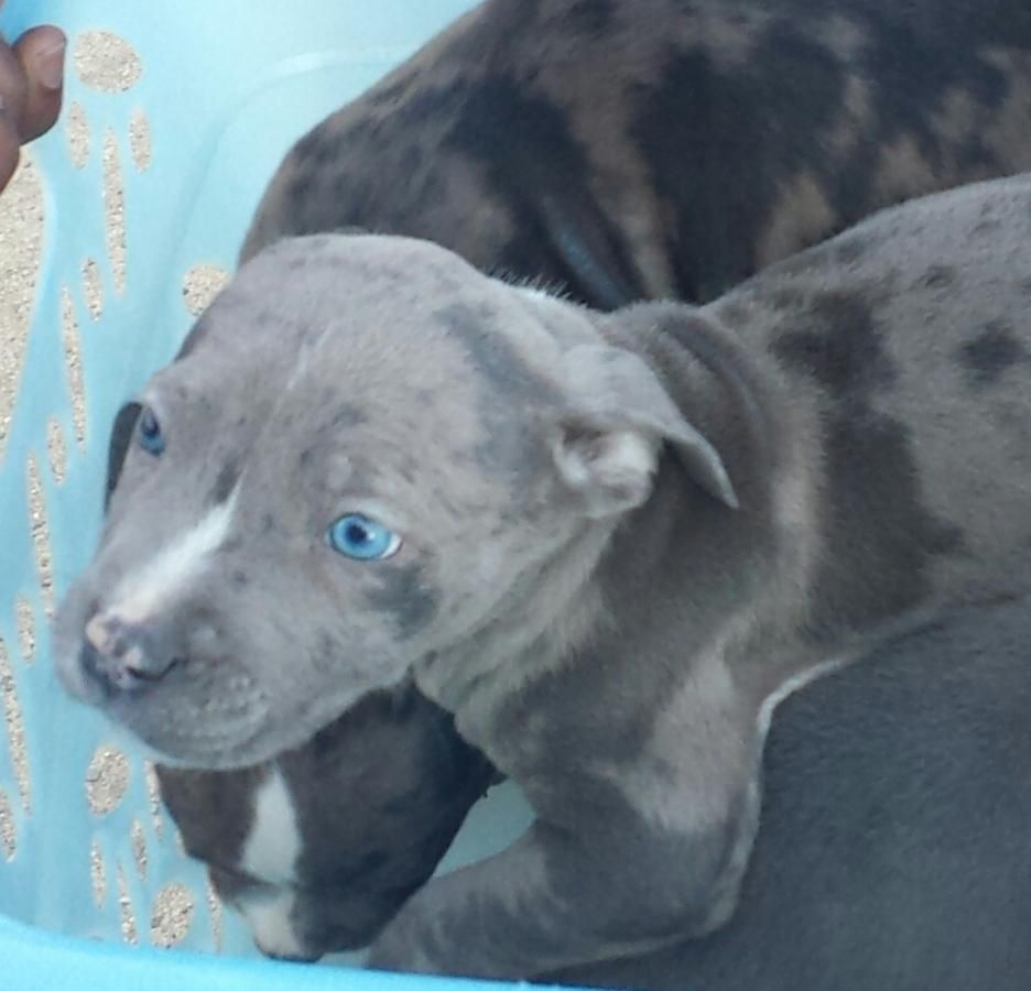 Black Pitbull With Blue Eyes Bing Images Black Pitbull Dog