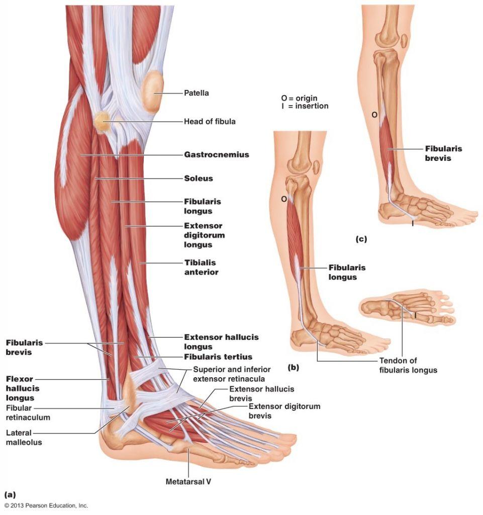 Anatomy Of Lower Leg Muscles Lower Leg Muscle Anatomy Human