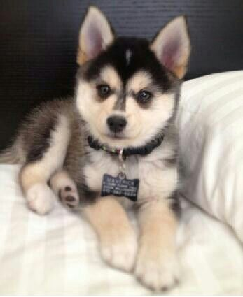 Half Pomeranian Half Husky It S Called A Pomsky And I Need One