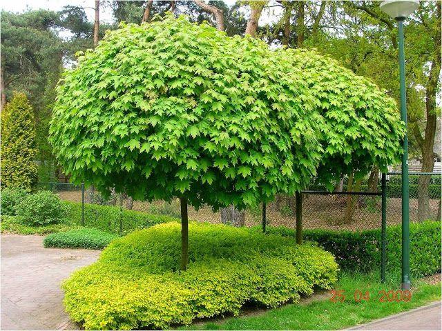 Rboles de sombra y decorativos para jardines peque os for Jardines con arboles y arbustos