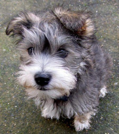 Henry the Maltese/Lhasa/Schnauzer Hypoallergenic dog