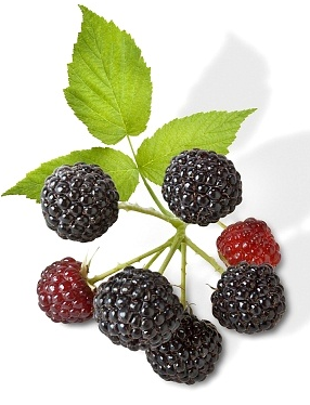Black Raspberries Aka Black Caps I Just Planted Some Yesterday Different From Blackberries These Are A Super Black Raspberry Fruit Plus Fruits And Veggies