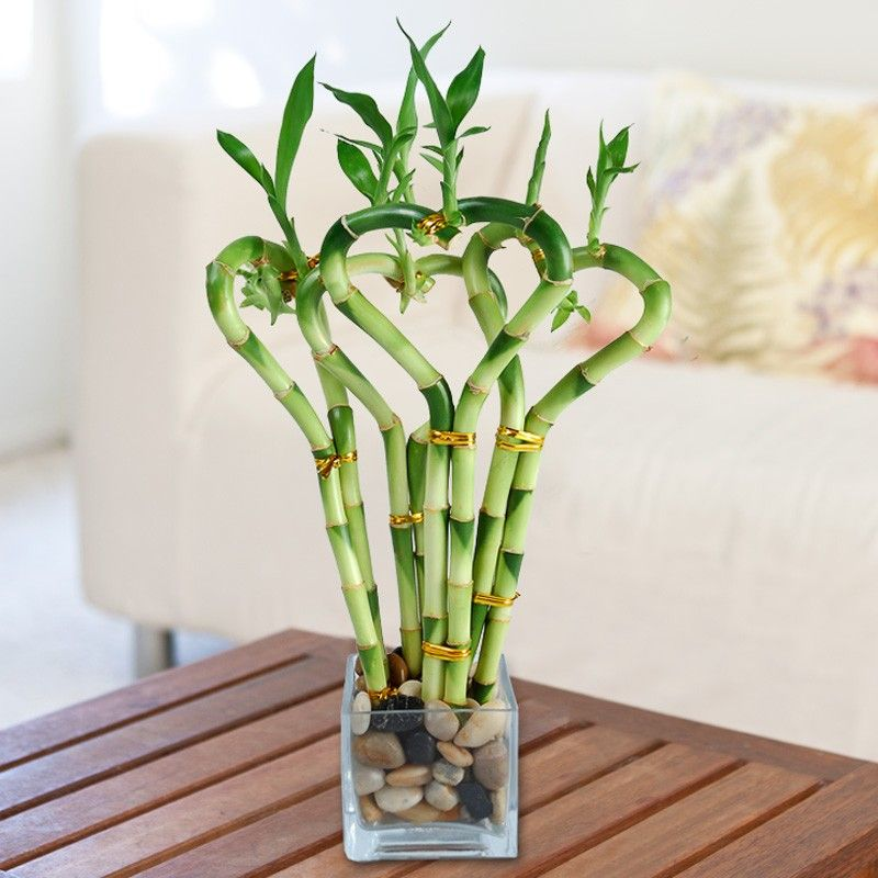 Image result for money plant and bamboo plants