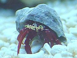 Scarlet Reef Hermit Crab Paguristes Cadenati Information Hermit Crab Reef Tank Coral Reef Aquarium