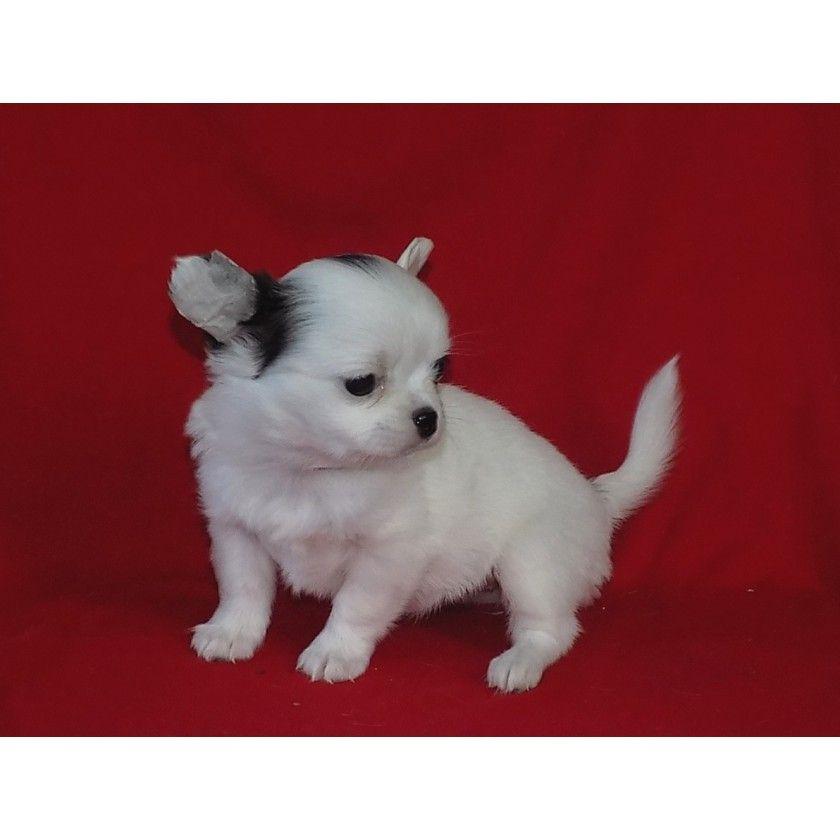 Mini Devochka Chihuahua Ksu Chihuahua Babies Chihuahua Puppies