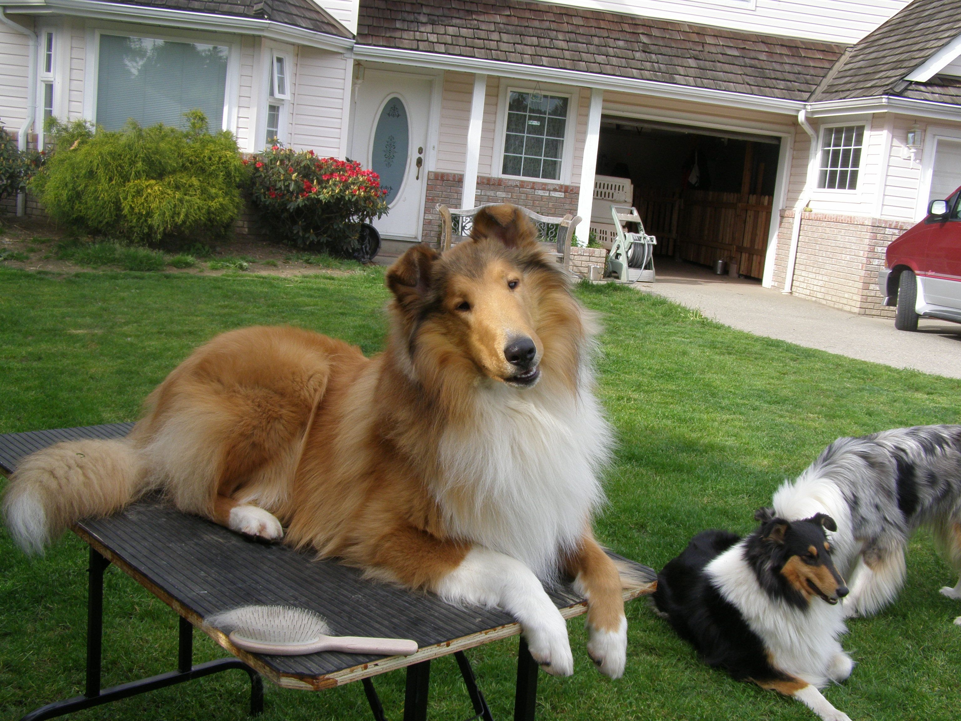 Look Just Like Our Casey Rough Collie Collie Dog Shetland Sheepdog