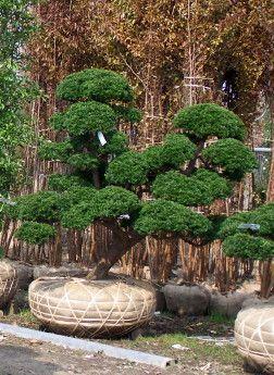 Taille japonaise niwaki video hortitherapie niwakitherapie for Entretien jardin 57