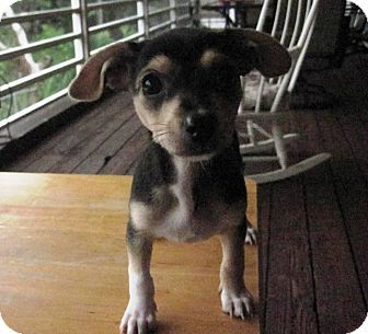 Key Largo Fl Chihuahua Mix Meet Adrienne A Puppy For Adoption
