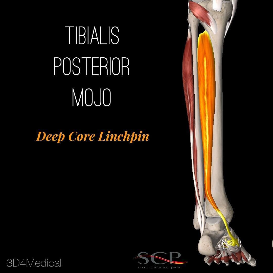 Cool Muscle Stuff: Tibialis Posterior 1. Inverts (supinates) the ...