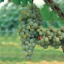 Processco grapes of the Conegliano & Valdobbiadene region of the Province of Treviso, Italy.  Treviso Province is twinned with the City of Sarasota, Florida since 2007