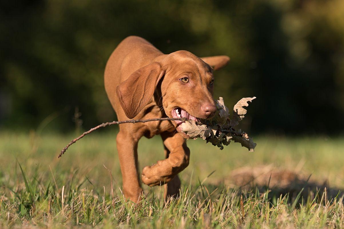 Willkommen Kleine Joy Ein Magyar Vizsla Zieht Bei Uns Ein Mit Bildern Vizsla Welpen Vizsla Hunde