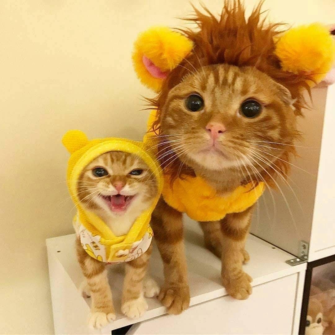 PsBattle Two cats in costume //ift.tt/2Bekz5W & PsBattle: Two cats in costume http://ift.tt/2Bekz5W | ???? ...