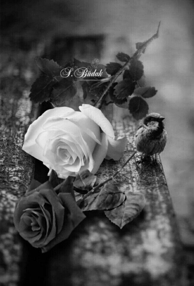 B S Budak Flowers Black Background Black And White Roses