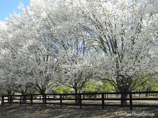 Bradford Pear Trees Blooming In North Carolina Bradford Pear Tree Flowering Trees Tree Lined Driveway
