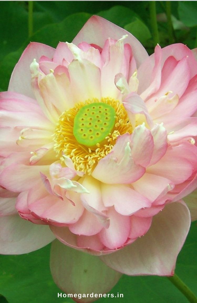 Sacred Lotus How To Grow And Care For Lotus Plants Gardening