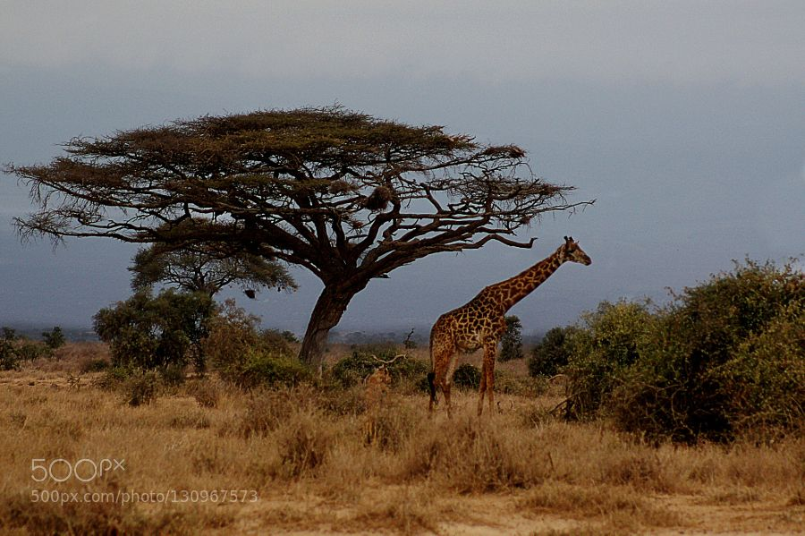 Giraffe by DariaKlepikova animals pets fadighanemmd