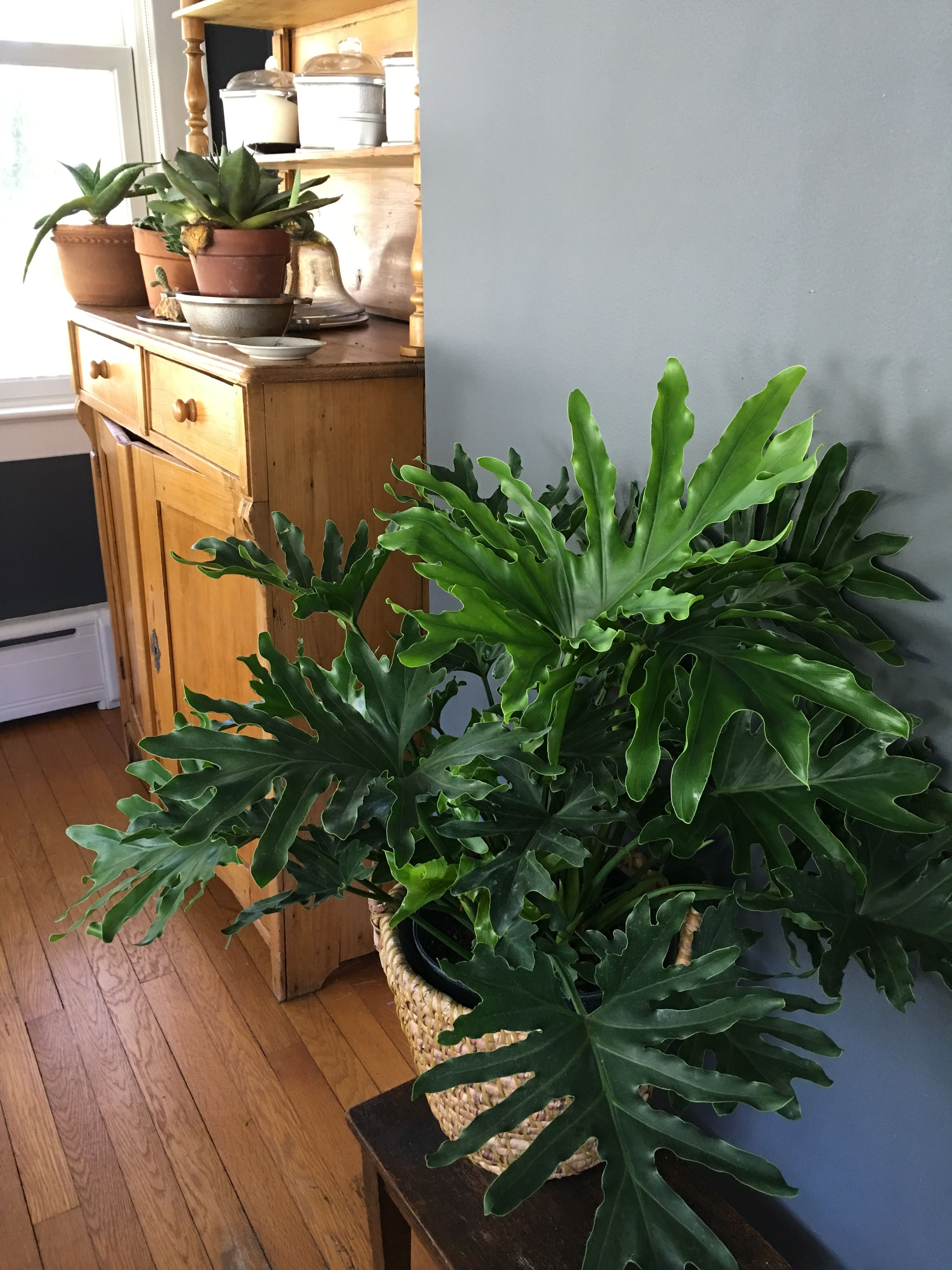 Philodendron 'Hope' Plants Indoor Plants House Plants 400 x 300