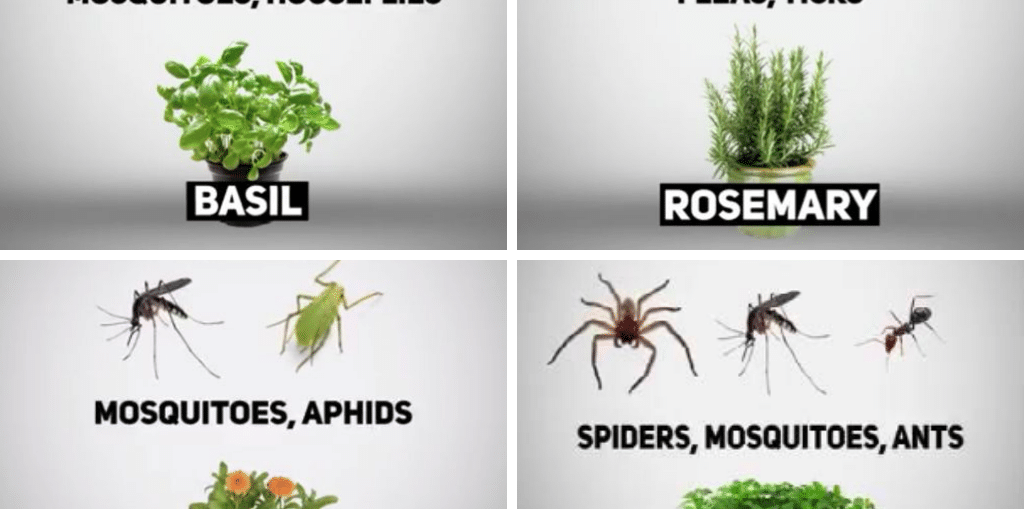 Do plants actually repel mosquitoes and other insects