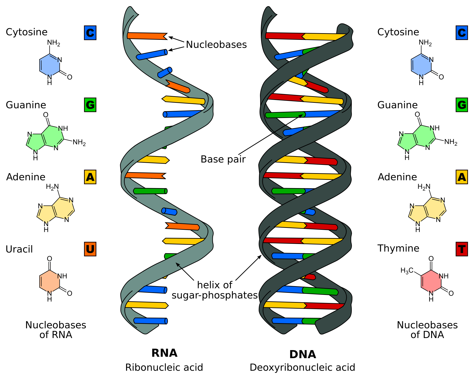 Nucleic acid - Wikipedia, the free encyclopedia | Virus Encoding DNA ...