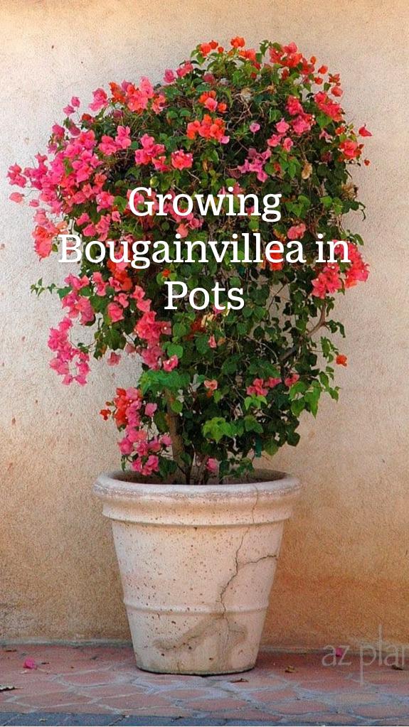 Growing Bougainvillea In Pots Un Guide Immersif Realise Par Noelle Johnson
