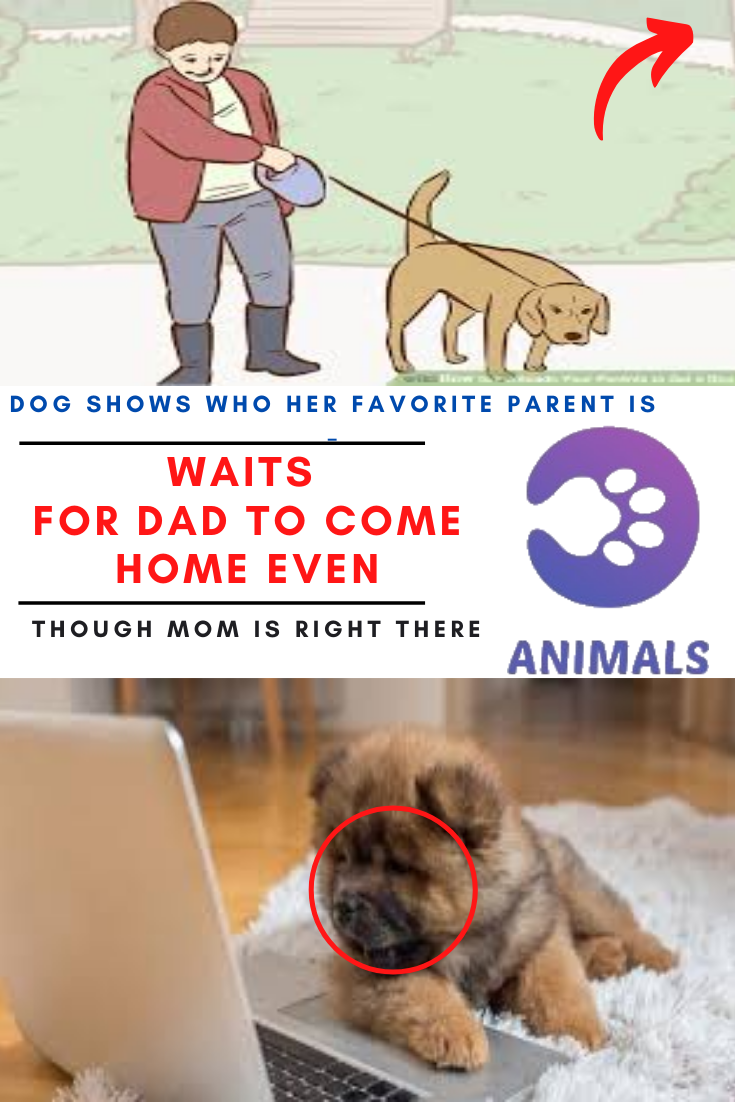 Dog Shows Who Her Favorite Parent Is – Waits For Dad To Come Home Even Though Mom Is Right There