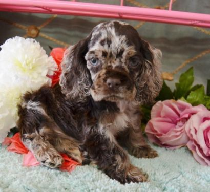Dogs Breed Cocker Spaniel Gender Male Age Young Chip Akc Chocolate Merle Male Cocker Spaniel Puppies Spaniel Puppies For Sale Cocker Spaniel Puppies