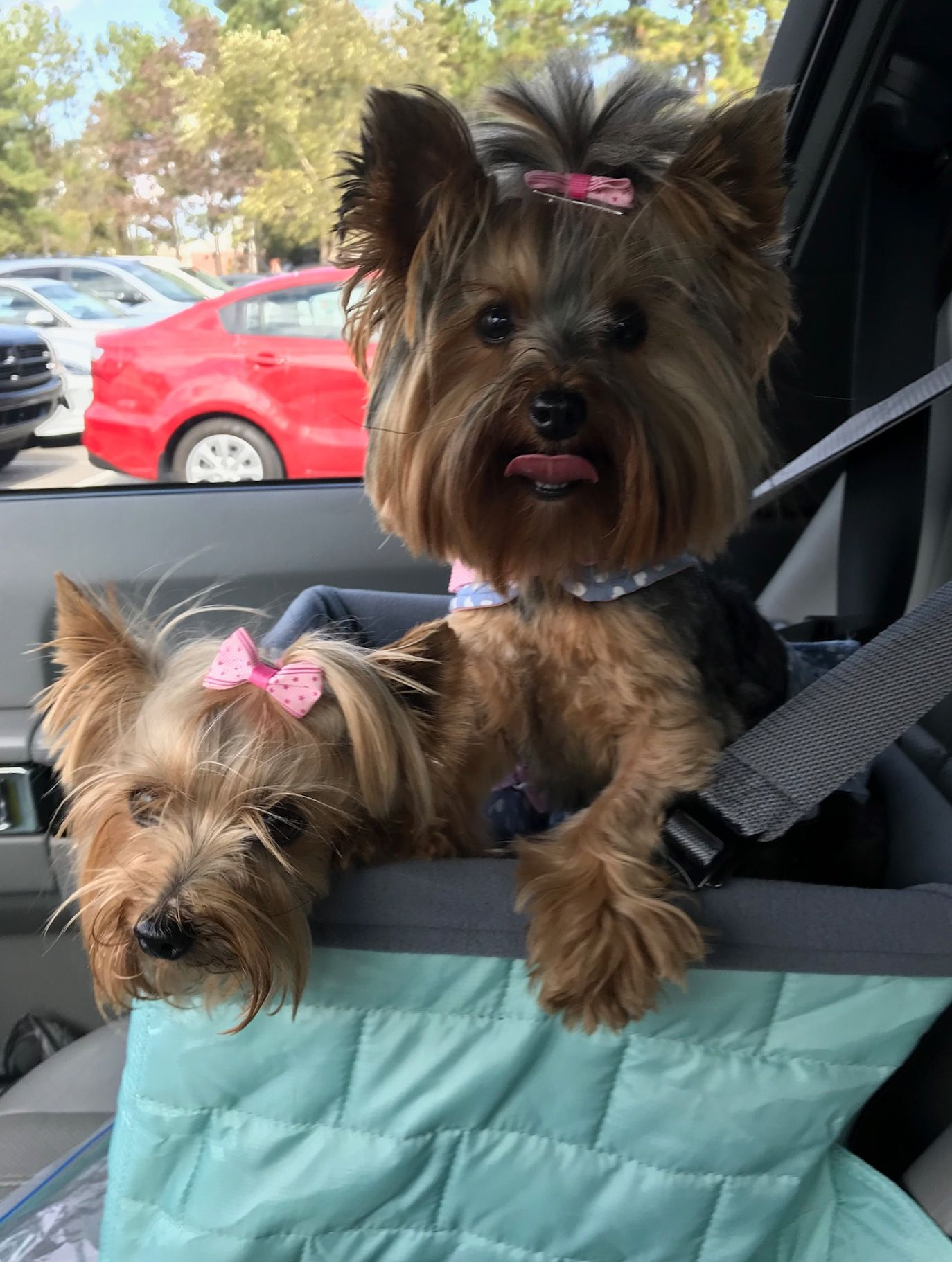 Pin By Julieann Sample On Yorkie Sisters Sophia Grace Ivee