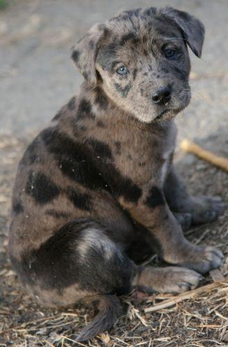 Catahoula Leopard Dog Catahoula Leopard Dog Louisiana Catahoula Leopard Dog Leopard Dog