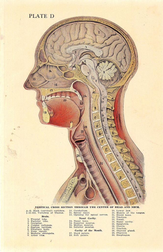 1920 Astonishing Cross-Section of The Human Head Anatomical Plate ...
